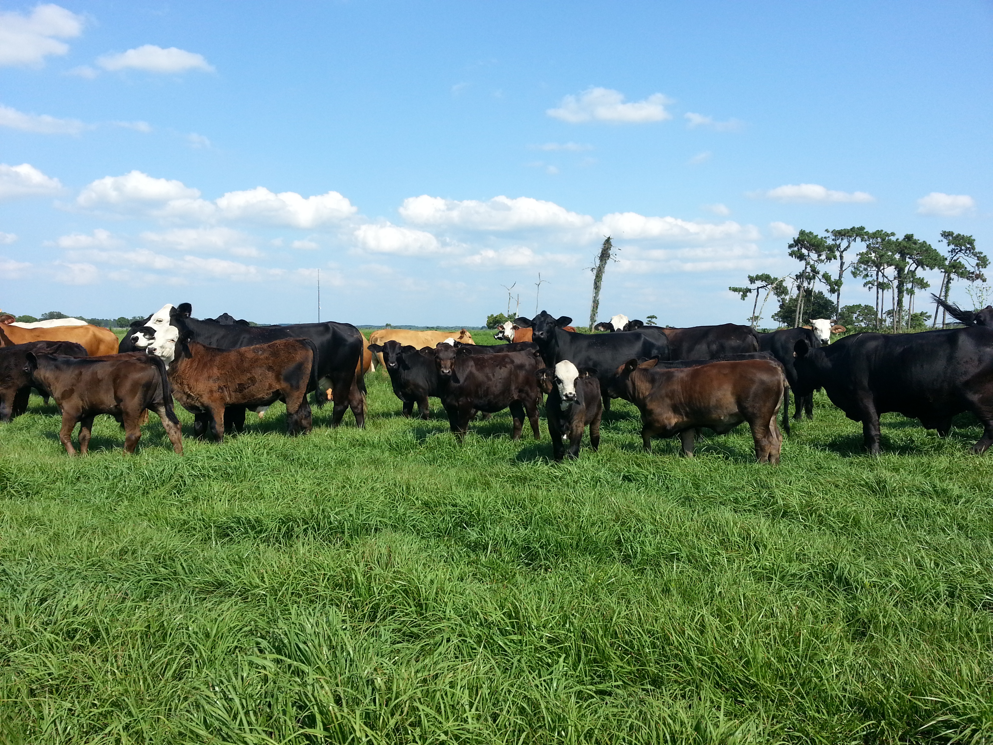 The Brangus Female: Commercial cows and calves